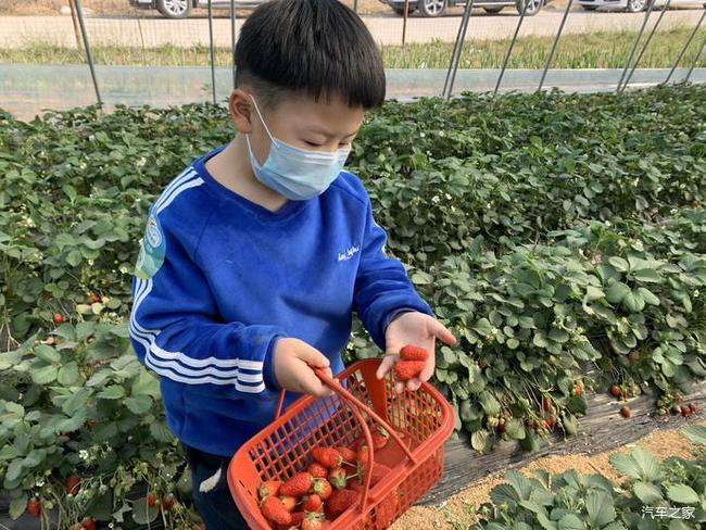 摘草莓+作文_关于龙泉的大棚摘奶油草莓的作文