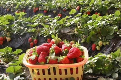 摘草莓+作文_梦见摘红色的草莓吃