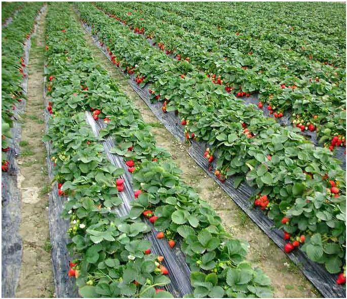 摘草莓+作文_梦见偷摘人家草莓吃_梦见摘黑草莓吃