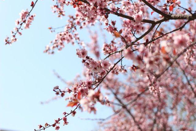 花开花落时作文_彼岸花开花不见叶叶不见花_棕榈树开花时图片
